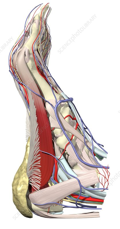 Muscles and neurovascular system of foot