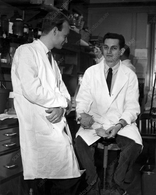 Matthaei and Nirenberg, biochemists