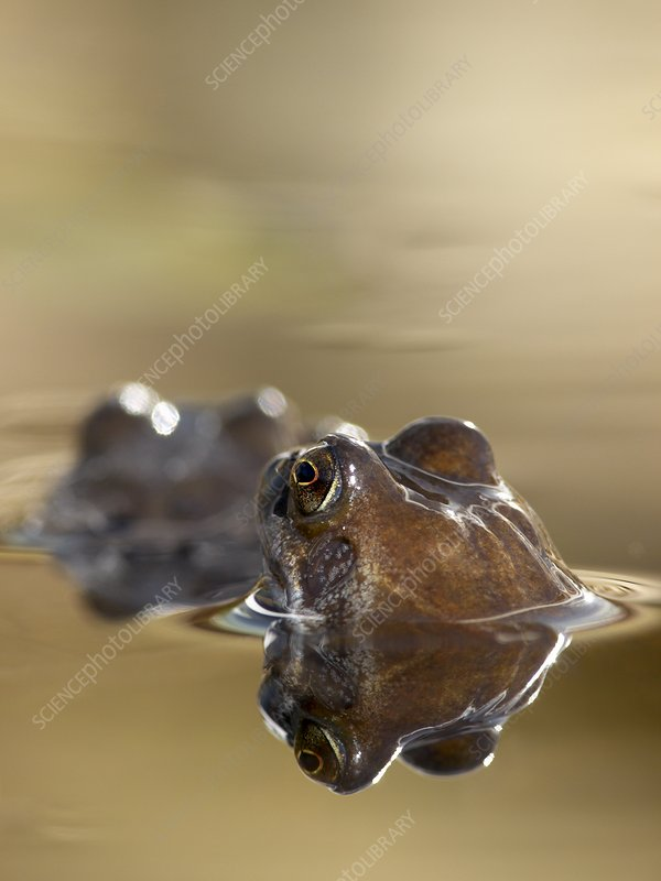 Common Frog (Rana temporaria) in pond