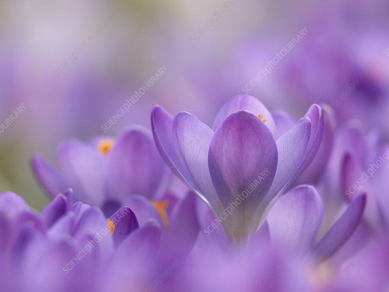 Crocus tommasinianus flowers