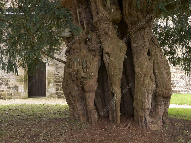 The Lytchet Matravers Yew (Taxus baccata)
