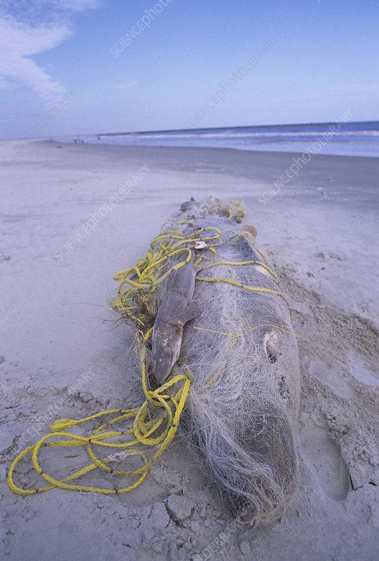 A dead Shark wrapped in gill net