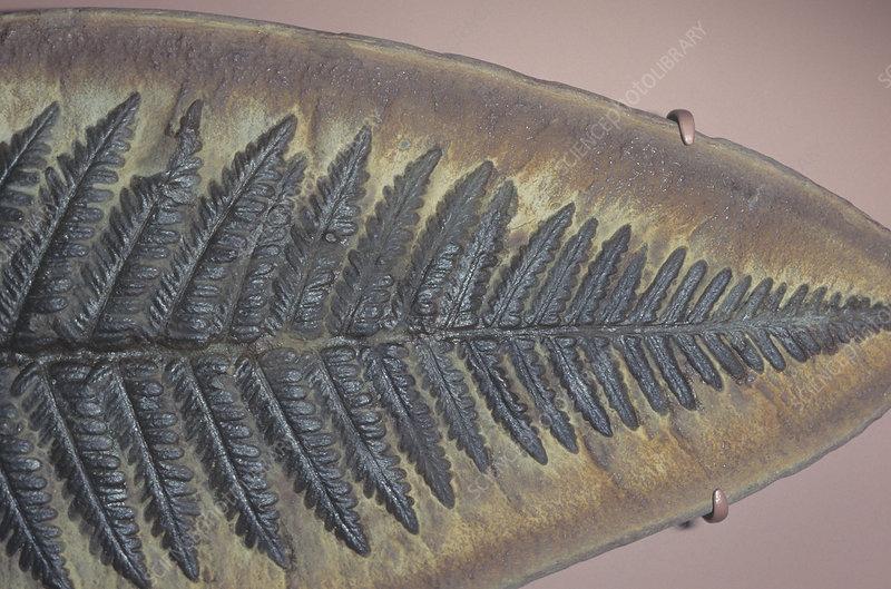 A fern fossil (Pecopteris), Carboniferous