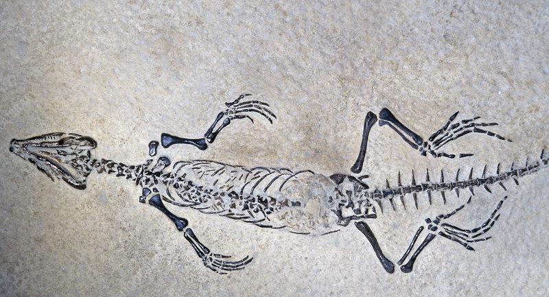 Lizard fossil (Homeosaurus pulchellus)
