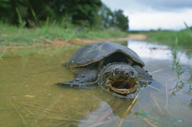 A Snapping Turtle (Chelydra serpentina)