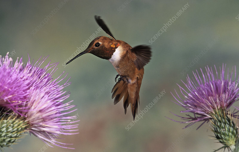 A Rufous Hummingbird hovering