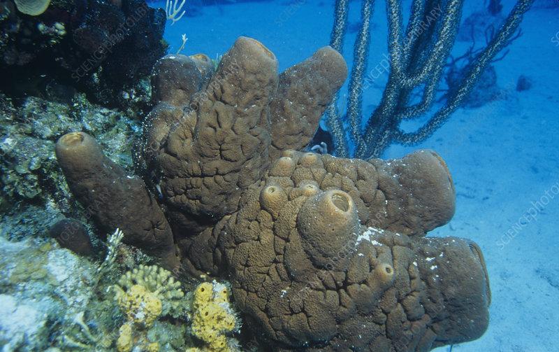 Touch-Me-Not Sponge