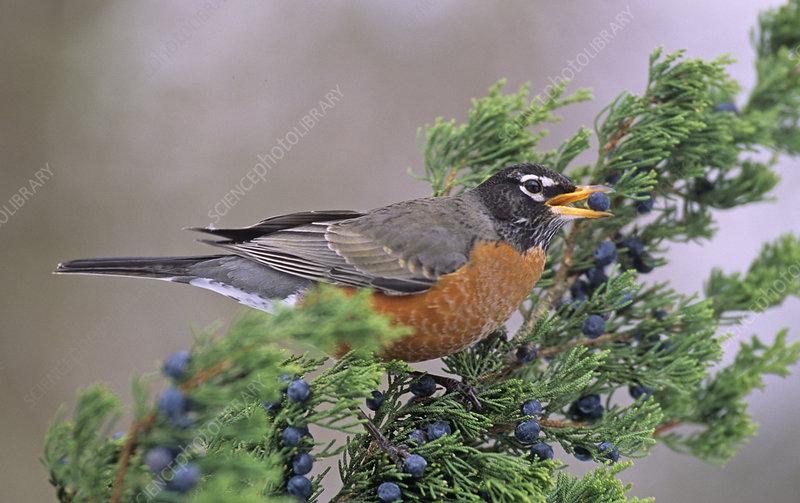 American Robin with a Cedar berry