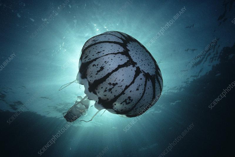 Purple-stripe Jellyfish, California