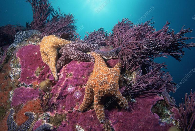 Ochre Seafish and Coralline Algae