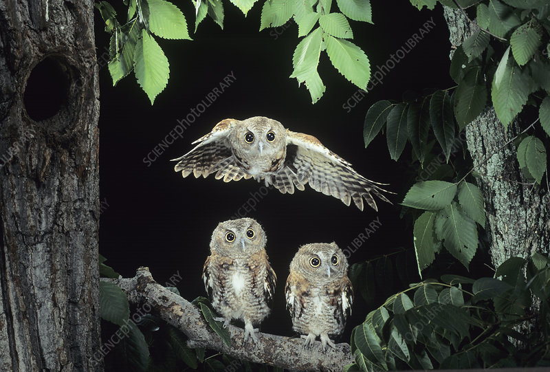 A Screech Owl in flight ,Otus asio,