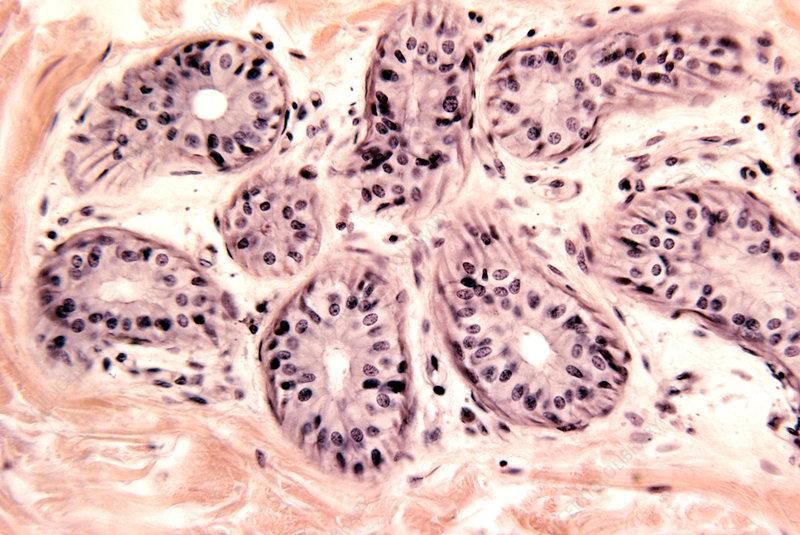 Sweat gland secretory cells