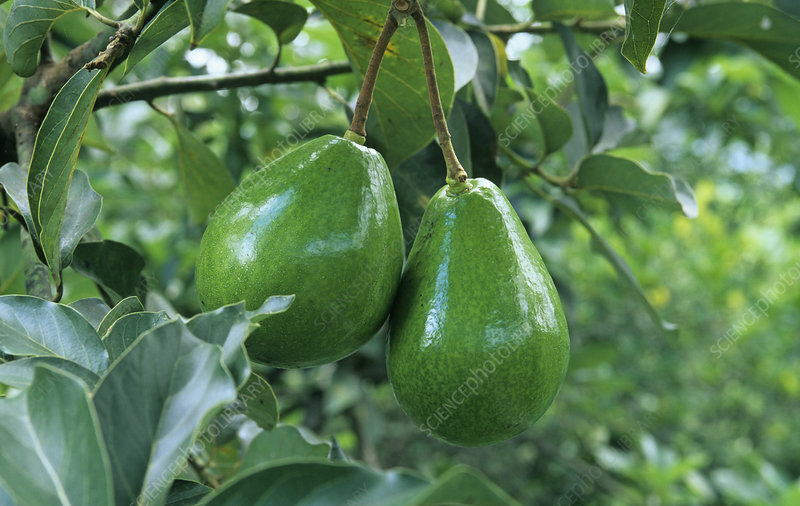 Avocado fruits on the tree
