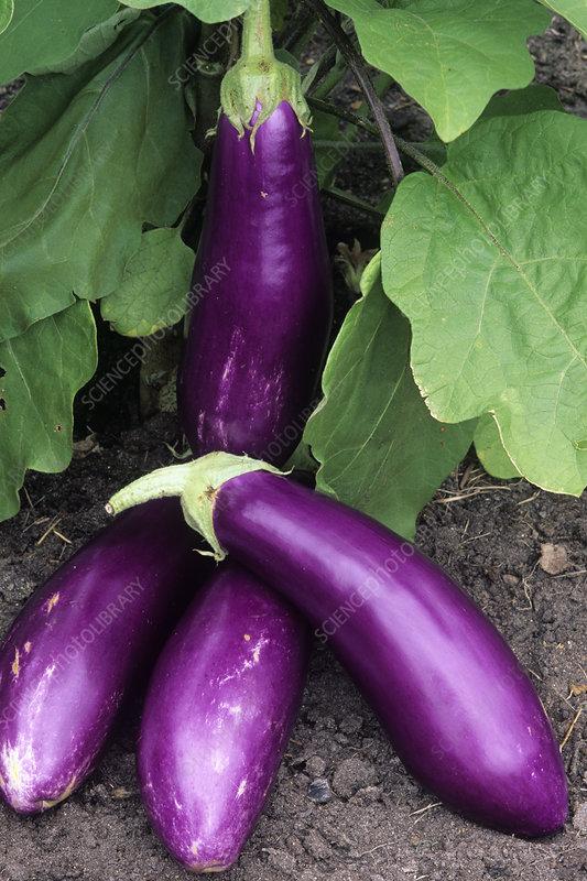 Eggplant 'Neon'