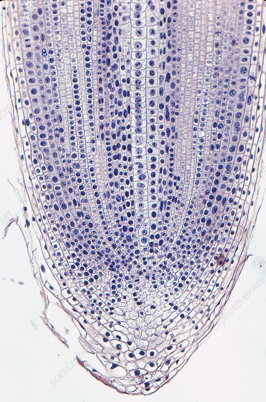 Onion root tip section (Allium) LM