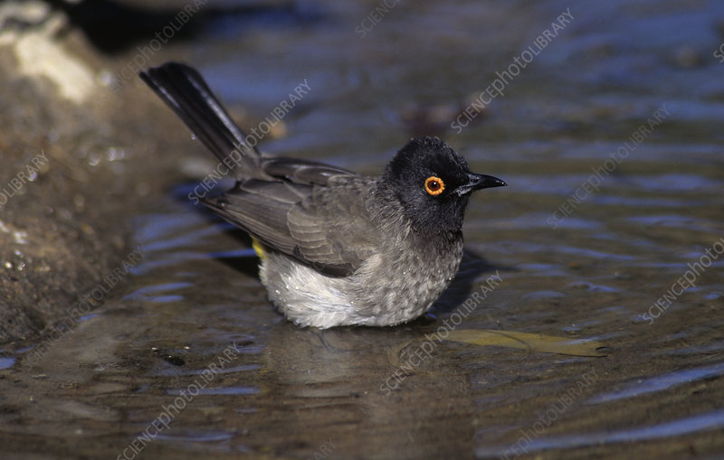 Black-fronted Bulbul bathing in water