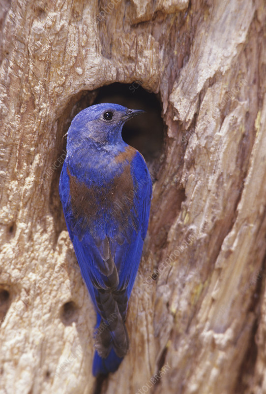 A Western Bluebird at his nest hole