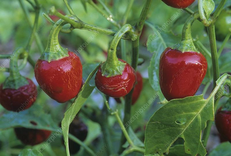 Sweet Cherry Peppers (Capsicum annuum)