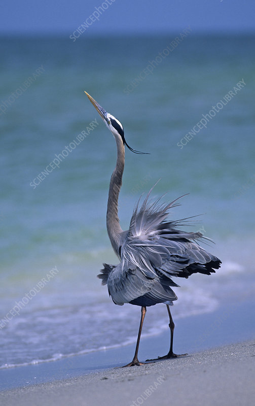 Great Blue Heron threat display