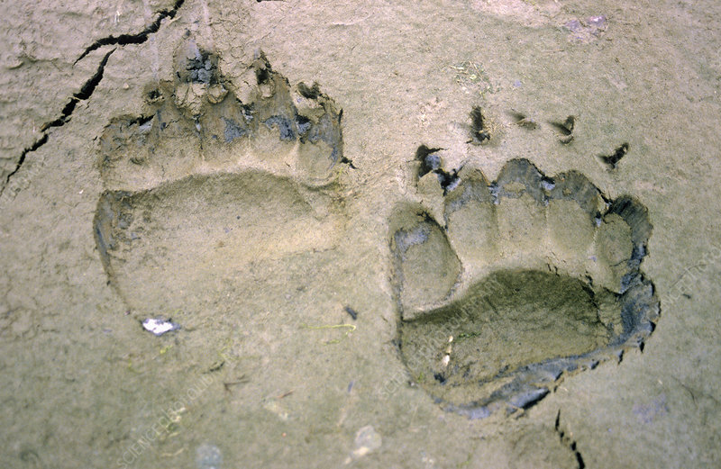 Brown Grizzly Bear tracks on the mud flat