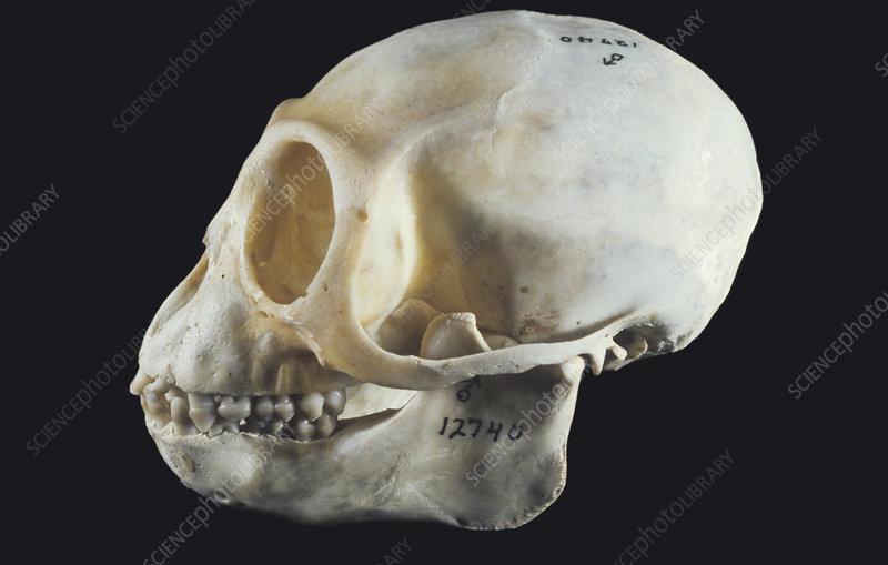 Colobus Monkey skull (Colobus guereza)