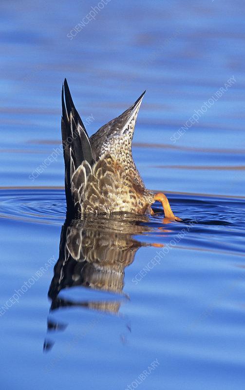 Northern Shoveler hen diving