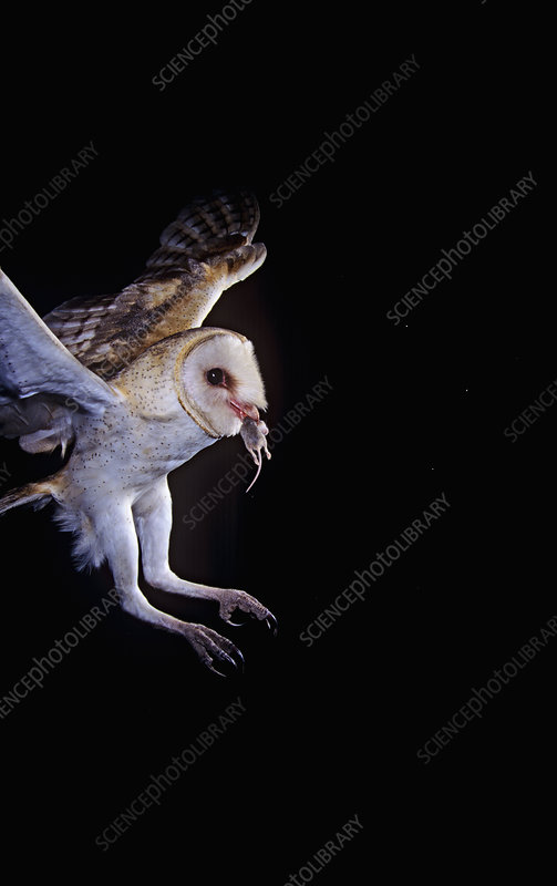 Barn Owl flying with mouse in mouth