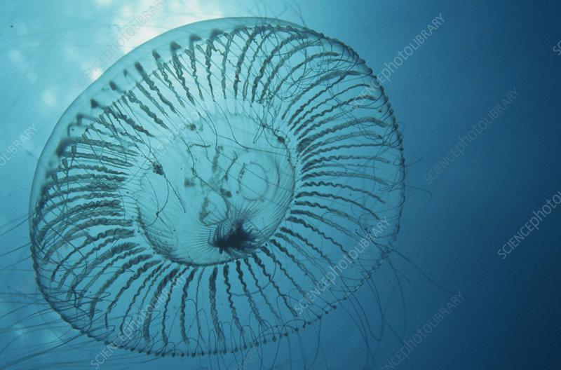 Crystal Jellyfish (Aequorea), California