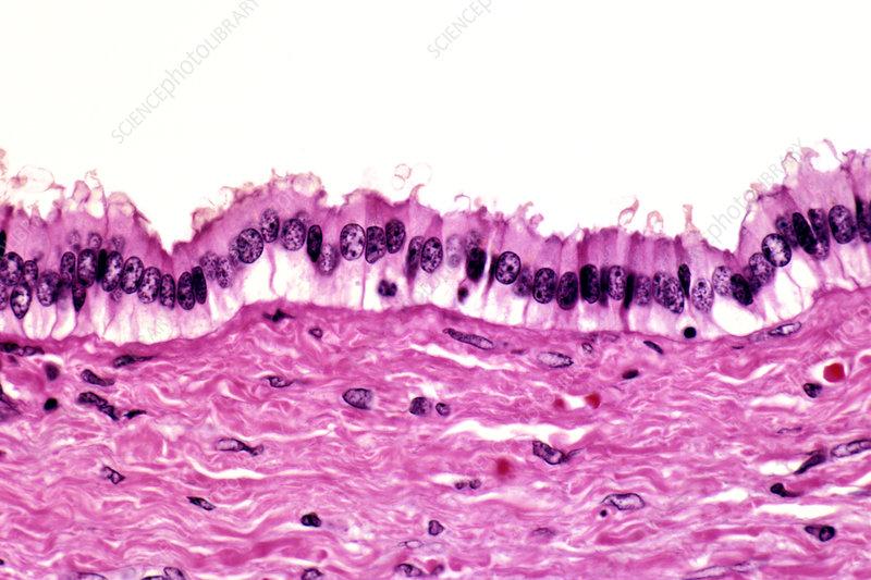 Columnar epithelium lining the bile duct