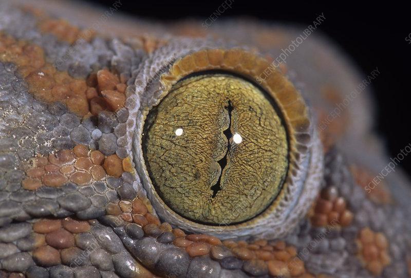 Tokay gecko eyes (Gekko gecko), Asia