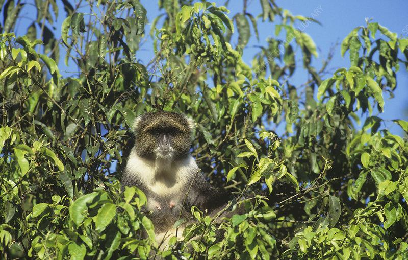 Sykes Monkey in a tree, Kenya