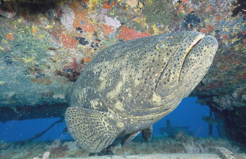 Goliath Grouper head