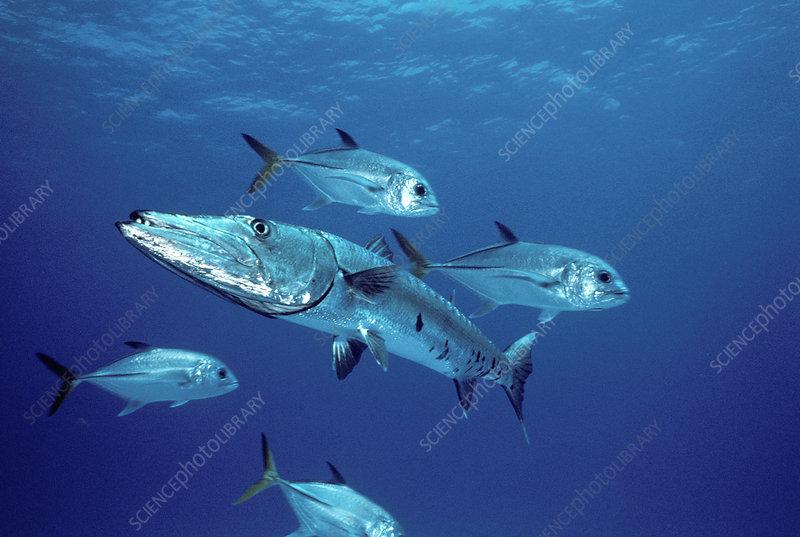 Great Barracuda (Sphyraena barracuda)
