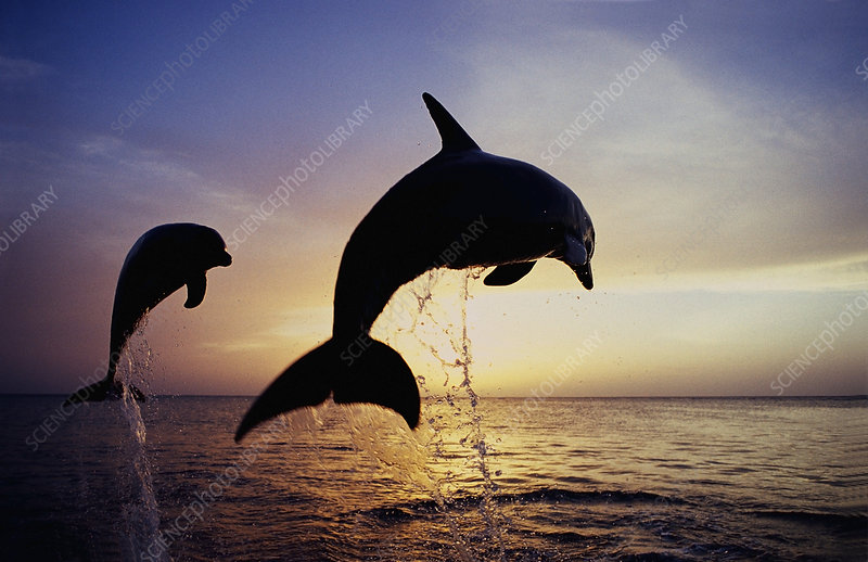 Bottlenose Dolphins leaping out of the wa