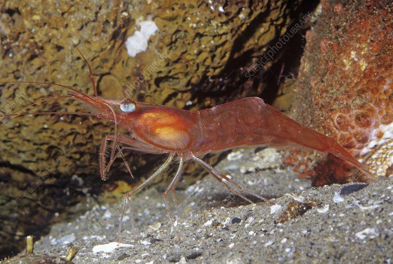 Yellowleg Shrimp (Pandalas)