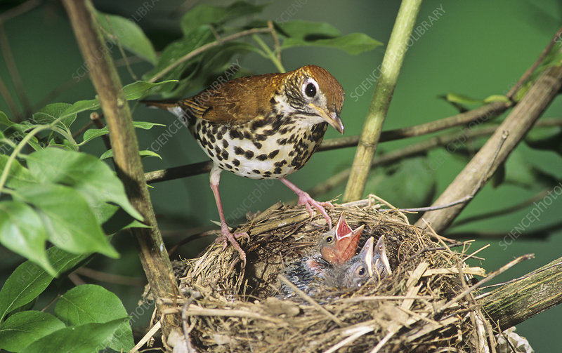 Wood Thrush at nest with Cowbird