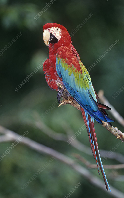Red-and-Green Macaw, Amazon Rainforest