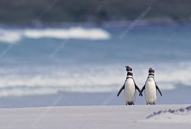 Magellanic Penguin Couple