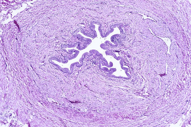 Normal urethra cross-section LM
