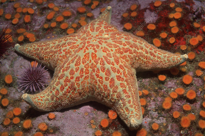 Leather Star, Sea Urchins and Cup Corals