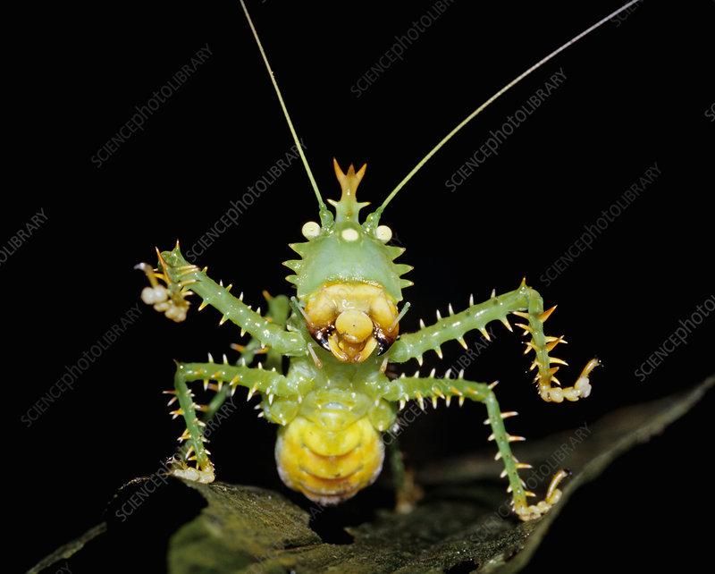 Spike-headed Katydid defensive posture