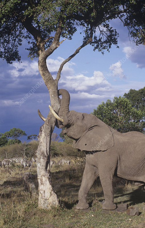 African Elephant with a savanna tree
