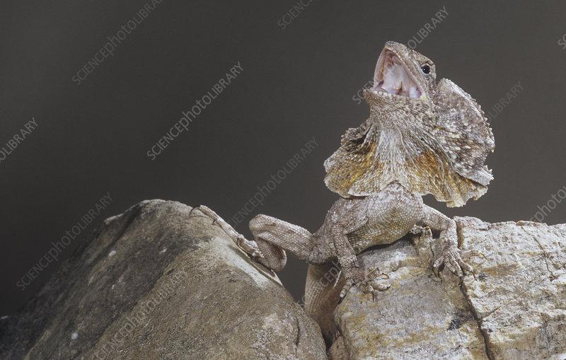 Frillneck Lizard threat display