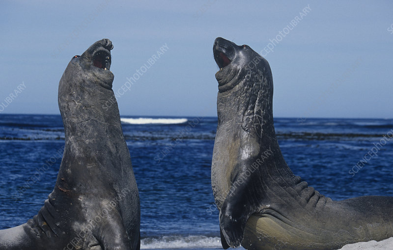 Young Southern Elephant Seals fighting