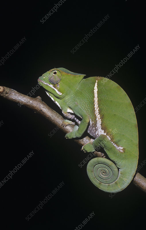 Female Chameleon (Furcifer balteatus)