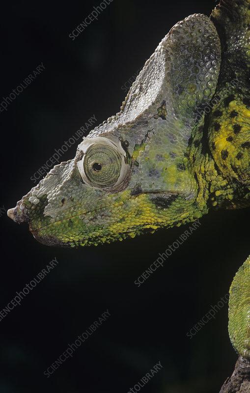 Meller's Chameleon (Chamaeleo melleri)
