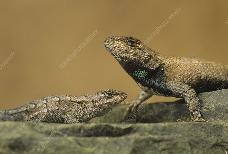 Northern Fence Lizard, sexual dimorphism