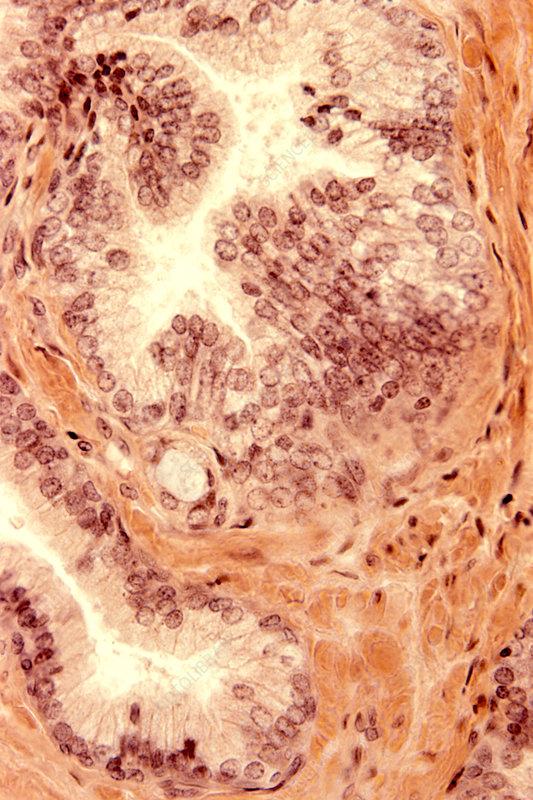 Prostrate gland secretory epithelium
