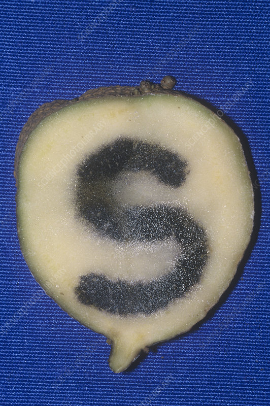 Potato treated with iodine