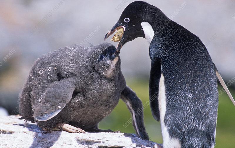 Adelie Penguin feeding its chick